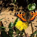 Niederhorn, Bern (Switzerland) - Butterfly small tortoiseshell     © Stephan Stamm