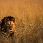 Wonderful Male Lion. Masai Mara National Reserve, Kenya     © Stephan Stamm