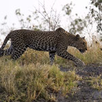 Chobe NP - Leopard on the prowl at the edge of the Savuti Channel