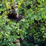 Wildlife Park Zurich Langenberg (Switzerland) - One of the three young Brown Bear on a birch     © Stephan Stamm
