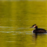 Lake Nussbaumen (Thurgau, Switzerland) - A Great Crested Grebe on the lake     © Stephan Stamm