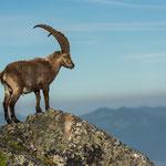 Niederhorn, Bern (Switzerland) - Alpine Ibex is enjoying the view from the top     © Stephan Stamm