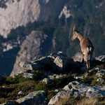 Niederhorn (Switzerland) - Capricorn looks over the cliff     © Stephan Stamm