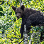 Wildlife Park Zurich Langenberg (Switzerland) - One of the three young Brown Bear climbed on a birch     © Stephan Stamm