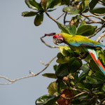 Totuguero Nation Park (Costa Rica) - Great Green Macaw © Stephan Stamm