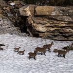 Niederhorn, Bern (Switzerland) - Alpine Ibexes on the last snow    © Stephan Stamm