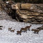 Niederhorn, Bern (Switzerland) - Alpine Ibexes on the last snow    © Stephan Stamm