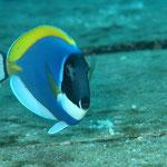Weißkehl-Doktorfisch (Maldives) © 2007