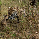 Leopard is playing with young Reedbuck eye to eye. Masai Mara National Reserve, Kenya     © Stephan Stamm