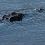 Kruger NP - Crocodile