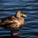 Étang de la Gruère (Jura, Switzerland) - Relaxing Duck in the best afternoon light     © Stephan Stamm
