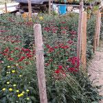 Chrysanthemen im Doppelfolienhaus (bis 2015)