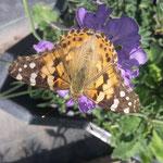 Schmetterling auf Skabiose