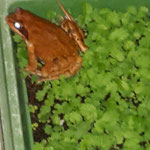 Frosch in Aussaatschale