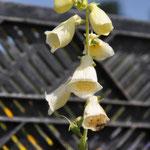 Grossblütiger Fingerhut , gelb (Wildform)