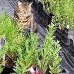 Nachbars Katze am Träumen in unseren Pflanzen