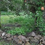 Michel hat wieder Unmengen an Brennnesseln unter dem halbtoten Apfelbaum ausgerissen und siehe da, darunter kommt fleißig der gesäte Mohn. (Hoffentlich blüht er, wenn wir in den Sommerferien da sind!)