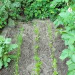 Winterheckenzwiebel und Möhre begünstigen sich, die Kartoffeln im rechten Bildrand sind neutral.