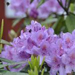 """Die Rhododendren stehen in voller Blüte und werden """"stark frequentiert""""! ;-)"""