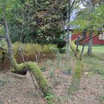 ..sollen den Girsch unter dem alten Kirschbaum vertreiben.
