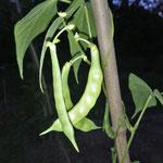 Monstranzbohnen
