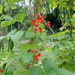 Blüten der Feuerbohne