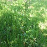 Die Holunderpflanzen hinter der Scheune sind gut angewachsen, die Stecklinge haben wir nicht wiedergefunden. ;-)