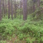 Wald-Blaubeeren..