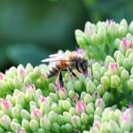 Sogar Bienchen kommen uns besuchen.