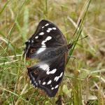Dank der vielen ungeliebten Brennesseln im Garten, haben wir jede Menge Schmetterlinge.