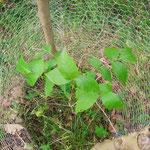 Kleiner Walnussbaum.