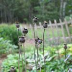 Den Mohn lasse ich stehen, die Vögel schlitzen die Kapseln seitlich auf und holen sich die Samen. :-)