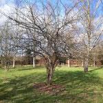 (vielleicht ein Apfelbaum?) vorher