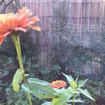 Het werk van een ijverige spin
