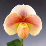 Paph.(Friendship x Lambert Day) x Stone Lovely'2012-537'