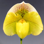 Paph.Snow Tiger x Icy Icy Wind'2012-529'