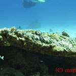 Teppich-Krokodilfisch