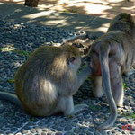 Ulu Watu (Tempelanlage an einer wunderschönen Steilküste mit diebischen Affen)