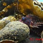 Kurzflossen-Zwerg-Feuerfisch (derzeitiger Aufenthalt: Mülltüte)