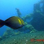 Gelbflossen-Doktorfisch