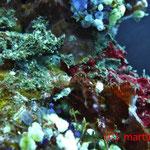 Frogfisch - Suchbild 1