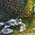 Oshimas Porzellankrebs gemeinsam mit einem Clarks Anemonenfisch auf einer Haddons Wirtsanemone