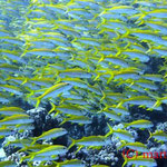 Gelbe Meerbarben