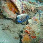 Baby-Imperator-Kaiserfisch. Die Jungtiere haben ringförmige Muster, während die ausgewachsenen Tiere linienförmige Muster haben. Dieses Tier ändert gerade sein Muster, wie die feinen horizontalen Linien andeuten.
