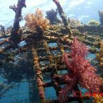 Bio-Rock /künstl Riff, Metalgebilde unter Strom dienen dem schnellen Korallenwachstum