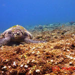 Schildkröte beim Futtern