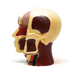 Human Anatomy Model (Brain & Skull) 人体模型3Dパズル(心臓)
