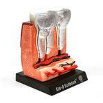 Human Anatomy Model (Teeth & Gums) 人体模型3Dパズル(歯と歯茎)