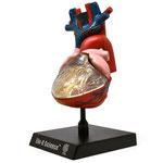 Human Anatomy Model (Heart) 人体模型3Dパズル(心臓)
