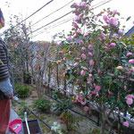 アトリエFoo*wa お庭の椿